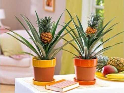 как вырастить апельсин из косточки и получить плоды