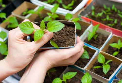 выращивание томатов как бизнес: план выращивания томатов в теплице